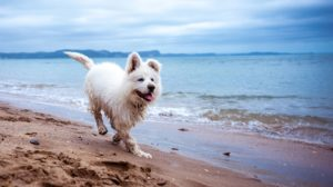 White puppy on the beach