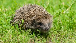Hedgehog walking on grass